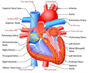 Read more about the article How iron release may worsen heart failure