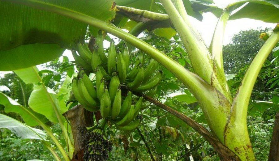 Read more about the article Not iron pills, eat plantain to boost your blood level